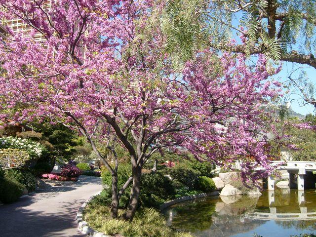 Un arbre en fleurs centerblog - Arbre pour jardin japonais ...